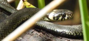 Finkenmoor Teich Cuxhaven – Schlangen im Wernerwald