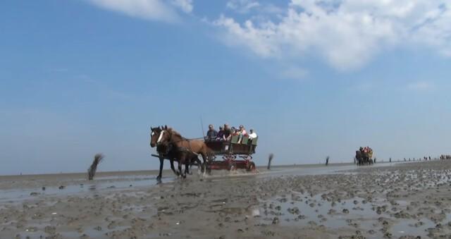 Wagen mit zwei Pferden auf den Weg nach Neuwerk  - Wattwagen Duhnen - Wattwagenfahrt von Cuxhaven nach Neuwerk [ Video ]