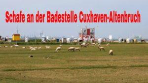 Schafe auf der Weide nahe der Badestelle Cuxhaven Altenbruch