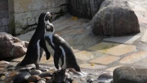 Süßer junger Pinguin im Kurpark Cuxhaven Döse