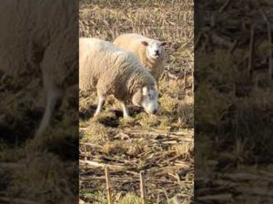 Frühling in Cuxhaven – Schafe grasen auf dem Stoppelfeld